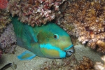 A sleeping Steephead Parrotfish (Chlorurus microrhinos) in nighttime colouration. Challenger Bay, Ribbon Reefs, Great Barrier Reef
