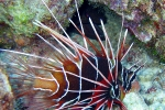 clearfin_lionfish
