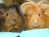 fluffy-guinea-pigs_cc-by_ilovebutter