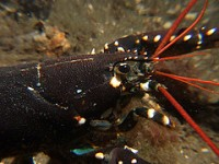 lobster_cc-by-nc-nd_geirf