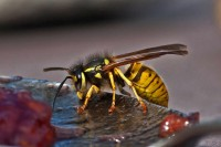 wasp-in-heaven | wespe im 7. himmel
