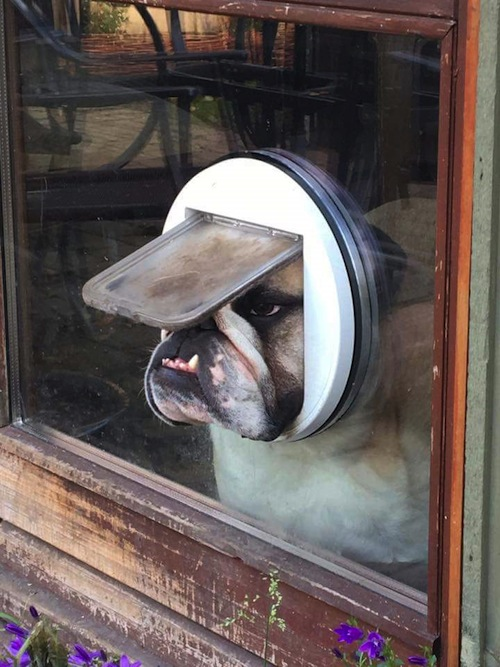 bulldog-in-catdoor_500px