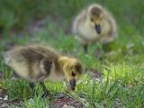 goslings_cc-by_alan-huett
